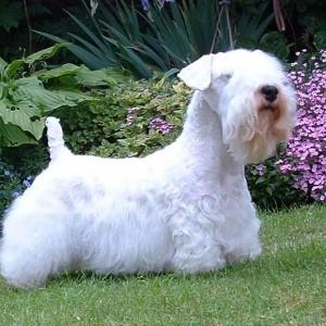 Силихем-терьер (Sealyham Terrier)